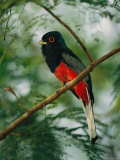 Surucua Trogon, Iguazu Falls, Argentina Photographic Print by Roy Toft