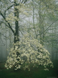 Dogwood Blossoms in a Foggy Forest Lmina fotogrfica por Raymond Gehman