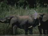 Pair of African Elephants Splash and Bathe in a Local Water Hole Photographic Print by Kim Wolhuter