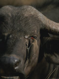 An Oxpecker Removes Parasites From the Face of a Cape Buffalo Photographic Print by Kim Wolhuter