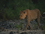Leopard Walks Along a Path Photographic Print by Kim Wolhuter