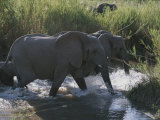 Group of African Elephants Wade Through a Waterway Photographic Print by Kim Wolhuter