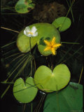 Heart-Shaped Water Lily Leaves and Delicate Blossoms Photographic Print by Steve Winter