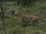 Leopard Standing in Wildflowers Squints Against the Sun Photographic Print by Kim Wolhuter