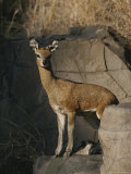 Klipspringer Stands on a Large Rocky Outcrop Photographic Print by Kim Wolhuter