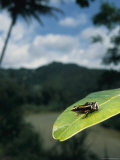 One of the Smallest Frogs, Eleutherodactylus Limbatus, on a Leaf Photographic Print by Steve Winter