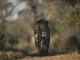 View From Behind of a Leopard Walking a Path Photographic Print by Kim Wolhuter