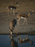 Graceful Springbok Drinks as Others Pass By Photographic Print by Kim Wolhuter