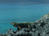 Cuban Iguana, Cyclura Nubila, Rests on a Seaside Rock Photographic Print by Steve Winter