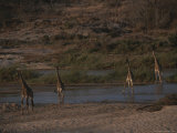 Group of Reticulated Giraffes Gather at a Watering Hole Photographic Print by Kim Wolhuter