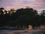An Alert Leopard Rests on a Large Rock at Twilight Photographic Print by Kim Wolhuter