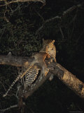Leopard Drapes Its Kill Across a High Tree Branch For Safe Keeping Photographic Print by Kim Wolhuter