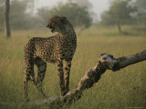 Long and Lean Cheetah Surveys the Land From a Downed Tree Trunk Photographic Print by Kim Wolhuter