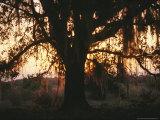 Spanish Moss Draped, Silhouetted Oak Tree at Twilight Photographic Print by Raymond Gehman