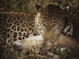Leopard Bites Into the Neck of Its Fallen Prey Photographic Print by Kim Wolhuter