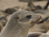 Close View of the Profile of a Fur Seal Photographic Print by Joy Tessman