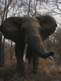 An African Elephant in an Aggressive Posture Photographic Print by Kim Wolhuter