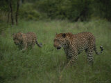 Pair of Leopards Walk Through Green Grass Photographic Print by Kim Wolhuter