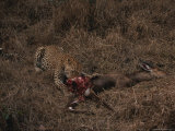 Leopard Feasts on the Carcass of Fresh Killed Prey Photographic Print by Kim Wolhuter