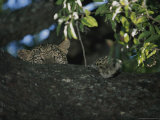 Young Leopard Rests in a Tree Photographic Print by Kim Wolhuter