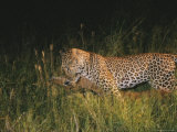 Leopard Drags Fresh Killed Prey Through Grass Photographic Print by Kim Wolhuter