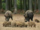 Group of Young Wild Boars Nose the Ground in Front of Two Adults Fotografisk tryk af Norbert Rosing