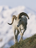 Dall's Sheep, Ram, Denali National Park, Alaska Photographic Print by Roy Toft