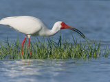 White Ibis, Breeding Plummage, Ft. Desoto, Florida Photographic Print by Roy Toft