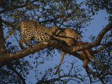 Leopard Feasts on a Carcass in a Safe Treetop Perch Photographic Print by Kim Wolhuter