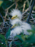 Great Egret Babies, Florida Photographic Print by Roy Toft