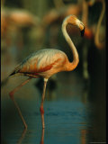 Graceful Caribbean Flamingo Walks Through Water Photographic Print by Steve Winter