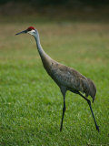 Portrait of a Sandhill Crane Strutting Through a Grassy Field Photographic Print by Raymond Gehman