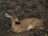 Steenbuck Rests on the Ground Photographic Print by Kim Wolhuter