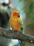 Sun Conure Parrot, Captive Photographic Print by George Grall