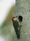 Cuban Woodpecker Clings to Edge of It's Nest Hole in a Tree Trunk Photographic Print by Steve Winter