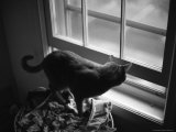 Black and White Photograph of Orange Tabby Cat Looking Out a Window Photographic Print by Todd Gipstein