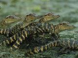 American Alligator Babies on Log, Texas 写真プリント : ロイ・トフト