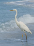 Great Blue Heron, White Morph, Florida Photographic Print by Roy Toft