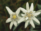 Close View of an Edelweiss Flower Photographic Print by Norbert Rosing