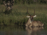 Waterbuck Rests in a Shady Spot of Water Photographic Print by Kim Wolhuter