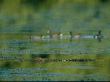 Crocodile Lurks Beneath the Water's Surface Near Four Ducks Photographic Print by Steve Winter