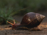 Close View of a Snail Crawling Photographic Print by Kim Wolhuter