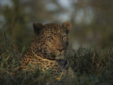 An Alert Leopard Rests in a Shady Spot Photographic Print by Kim Wolhuter