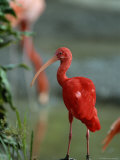 Scarlet Ibis Perches on a Rock Photographic Print by Norbert Rosing