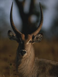 Portrait of a Waterbuck, Kobus Species Photographic Print by Kim Wolhuter