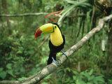 A keel-billed toucan sits in a tree in Belize, Photographic Print