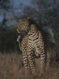 Proud Looking Leopard Surveys Its Surroundings Photographic Print by Kim Wolhuter