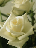Close View of a Perfect White Rose Photographic Print by Marc Moritsch