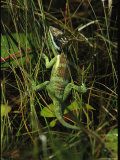 Lizard Crawling Through Grasses Photographic Print by Steve Winter