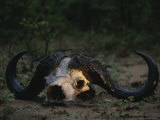 The Skull of a Cape Buffalo Photographic Print by Kim Wolhuter